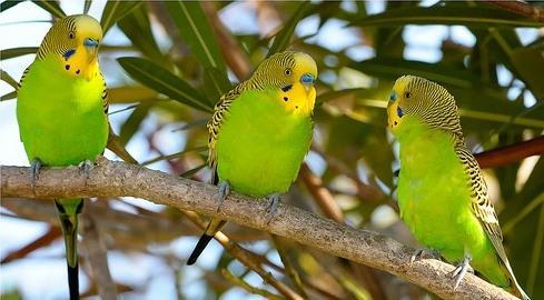как по английски произнести попугай