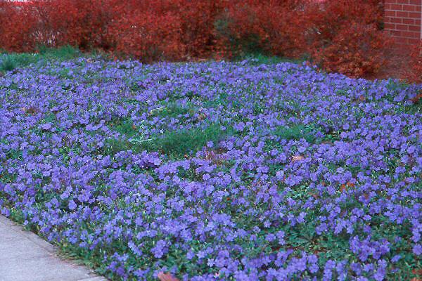 Фото барвинок цветка