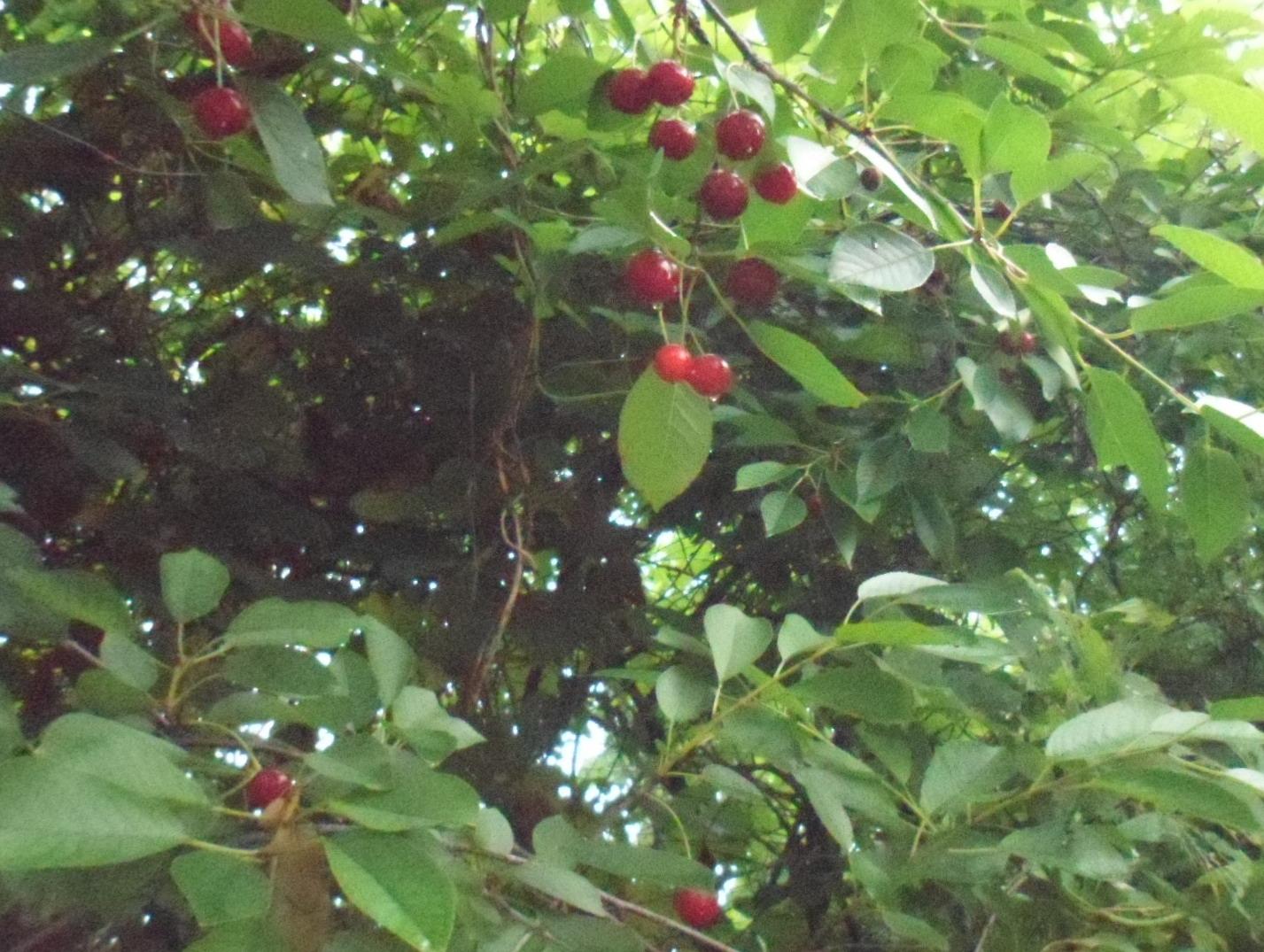 Сливо-вишнёвый гибрид, или вишнеслива — Сады Сибири