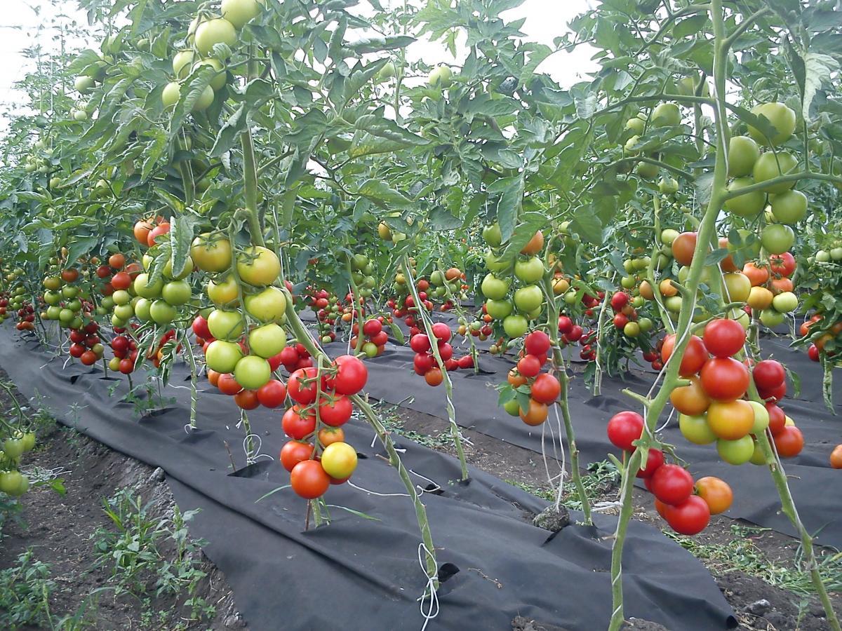 Выращивание помидоров в зимних теплицах 96