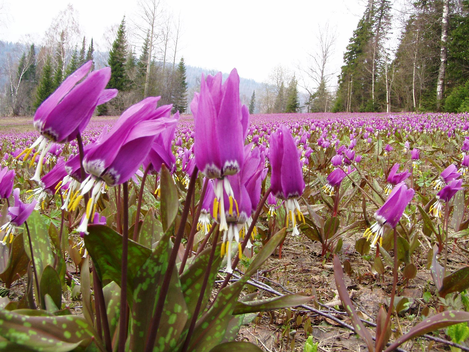 картинки первоцветы сибири только красив, хитёр